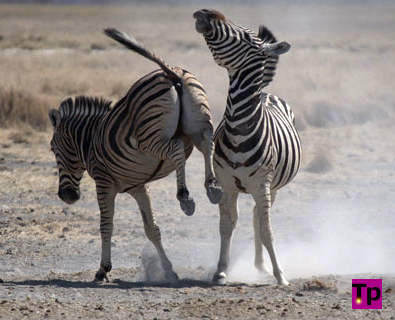 A pair of male zebras kicking up