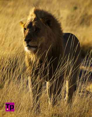wild male African lion standing in dry grass