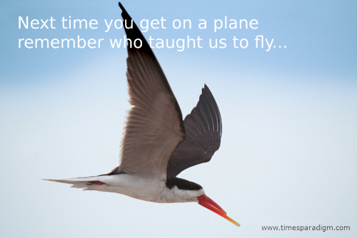 photograph of an African skimmer in flight.